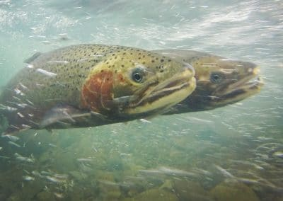 Protecting California's Native Salmon, Steelhead and Trout